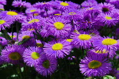 Alpine Aster flowers. Plants in the family Asteraceae Stock Photography