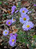 Alpine aster flowers. Alpine aster violet flowers on the autumn leaves Royalty Free Stock Photo