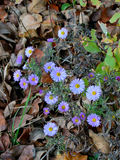 Alpine aster flowers. Alpine aster violet flowers on the autumn leaves Royalty Free Stock Image