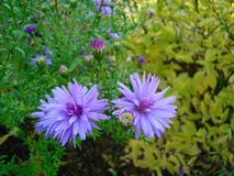 Alpine aster flowers. Alpine aster violet flowers in the grass Royalty Free Stock Image