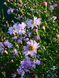 Alpine aster flowers. Alpine aster violet flowers in the grass Stock Image