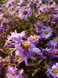 Alpine aster flowers. Alpine aster violet flowers in the sun Royalty Free Stock Image
