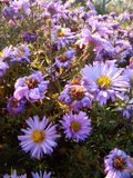 Alpine aster flowers. Alpine aster violet flowers in the sun Stock Photography