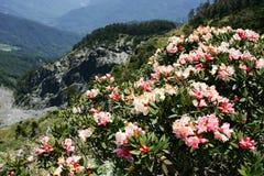 Alpine azalea. Hehuan spring in Taiwan (height 3000m) mountain azaleas in full bloom Stock Images
