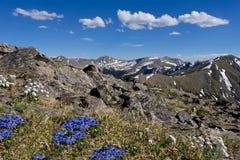 Alpine blaue Blumen in Rocky Mountains Lizenzfreie Stockbilder