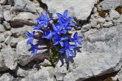 Alpine blue flowers -  The Spring Gentian Royalty Free Stock Photography