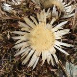 Alpine Blume Carlina Acaulis u. x28; Stemless Carline Thistle u. x29; im Herbst Ayas Tal, Aosta, Italien Stockfotos