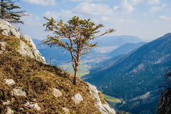 Alpine bonsai. The tree grew up on a cliff above a rock in the Alps Royalty Free Stock Photos