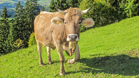 Alpine brown cow looking at you Royalty Free Stock Photo