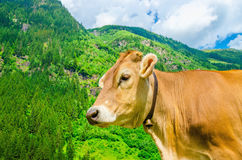Alpine brown cow on meadow, Austria Stock Images