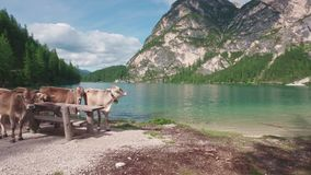 Alpine brown cows standing near Braies lake, Dalomites, Italy stock footage