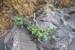 Alpine Buckthorn Rhamnus alpina. Detail of leaves and flowers of Alpine Buckthorn Rhamnus alpina. Photo taken in Saliencia Valley, Somiedo Nature Reserve. It is Royalty Free Stock Photo
