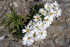 Alpine Camomile flowers, NZ Stock Photo