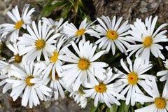 Alpine Camomile flowers, NZ Royalty Free Stock Image