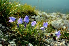 Alpine campanula Royalty Free Stock Photo