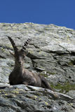 Alpine capra-ibex sit on a rock Royalty Free Stock Photography