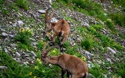 Alpine capricorn Steinbock Capra ibex eating grass, brienzer rothorn switzerland alps. Alpine capricorn Steinbock Capra ibex eating grass, brienzer rothorn royalty free stock photo