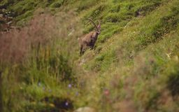 Alpine capricorn Steinbock Capra ibex with grass infront. Sunny Royalty Free Stock Photo