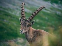 Alpine capricorn Steinbock Capra ibex looking camera, brienzer rothorn switzerland alps. Alpine capricorn Steinbock Capra ibex looking at camera close up stock photos