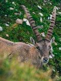 Alpine capricorn Steinbock Capra ibex looking camera, brienzer rothorn switzerland alps. Alpine capricorn Steinbock Capra ibex looking at camera, brienzer stock images