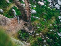 Alpine capricorn Steinbock Capra ibex looking camera, brienzer rothorn switzerland alps. Alpine capricorn Steinbock Capra ibex looking at camera close up royalty free stock image