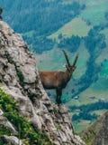 Alpine capricorn Steinbock Capra ibex looking camera, brienzer rothorn switzerland alps. Alpine capricorn Steinbock Capra ibex looking at camera behind a steep royalty free stock photos