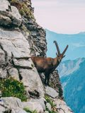 Alpine capricorn Steinbock Capra ibex in the mountain scenery on a steep rock, brienzer rothorn switzerland alps. Alpine capricorn Steinbock Capra ibex looking Royalty Free Stock Images