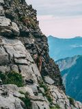 Alpine capricorn Steinbock Capra ibex looking the mountain scenery on a steep rock, brienzer rothorn switzerland alps. Alpine capricorn Steinbock Capra ibex Royalty Free Stock Photography