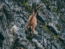 Alpine capricorn Steinbock Capra ibex standing on a rock looking away, brienzer rothorn switzerland alps. Alpine capricorn Steinbock Capra ibex standing on a Royalty Free Stock Photos