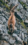 Alpine capricorn Steinbock Capra ibex standing on a rock looking away, brienzer rothorn switzerland alps. Alpine capricorn Steinbock Capra ibex standing on a Stock Photography