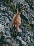 Alpine capricorn Steinbock Capra ibex standing on a rock looking away, brienzer rothorn switzerland alps. Alpine capricorn Steinbock Capra ibex standing on a Royalty Free Stock Photo