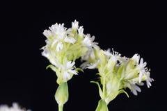 Alpine catchfly Lychnis alpina Royalty Free Stock Images