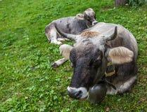 Alpine Cattle Royalty Free Stock Photos