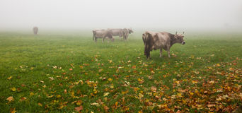 Alpine Cattle III Stock Photography