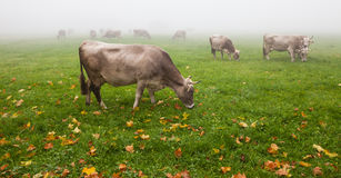 Alpine Cattle V Stock Image