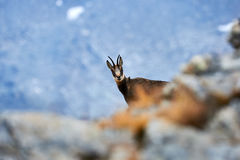 Alpine chamois in the Alps. Alpine chamois hidden among the rocks, photographed in an Italian park Royalty Free Stock Images