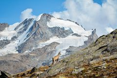 Alpine chamois. Gran Paradiso National Park, Italy. Wild chamois Rupicapra in the italian Alps. Gran Paradiso National Park, Italy Stock Image