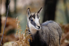 Alpine chamois mammal Stock Photos