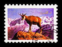 Alpine Chamois (Rupicapra rupicapra), Animals; large format serie, circa 1972. MOSCOW, RUSSIA - NOVEMBER 10, 2018: A stamp printed in Umm Al Quwain shows Alpine royalty free stock photography
