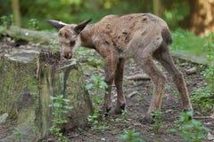 Alpine chamois (Rupicapra rupicapra rupicapra). Wildlife animal Royalty Free Stock Image