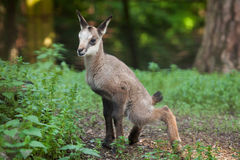 Alpine chamois (Rupicapra rupicapra rupicapra). Wildlife animal Royalty Free Stock Photos
