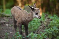 Alpine chamois (Rupicapra rupicapra rupicapra). Wildlife animal Royalty Free Stock Photography