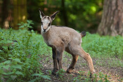 Alpine chamois (Rupicapra rupicapra rupicapra). Stock Photos