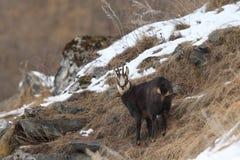 Alpine Chamois Royalty Free Stock Image