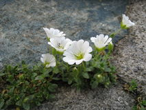 Alpine Chickweed flowers. Cerastium Alpinum, commonly called Alpine Mouse-ear or Alpine Chickweed flowers Stock Photo