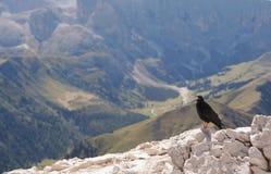 Alpine chough. In the Dolomites (pyrrhocorax graculus Royalty Free Stock Photos