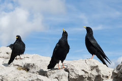 Alpine chough Royalty Free Stock Images