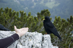 Alpine chough Royalty Free Stock Photo