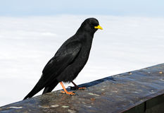 Alpine Chough Stock Image