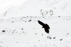Alpine Chough. An alpine chough flying on a snow backgroud (Wallis, Switzerland Royalty Free Stock Photo